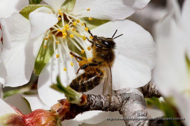 abeja melifera en la flor del almendro