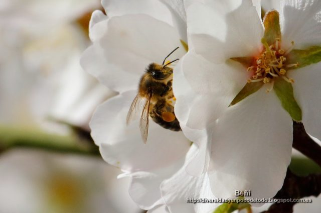 abeja melifera entre los petalos de la flor del almendro