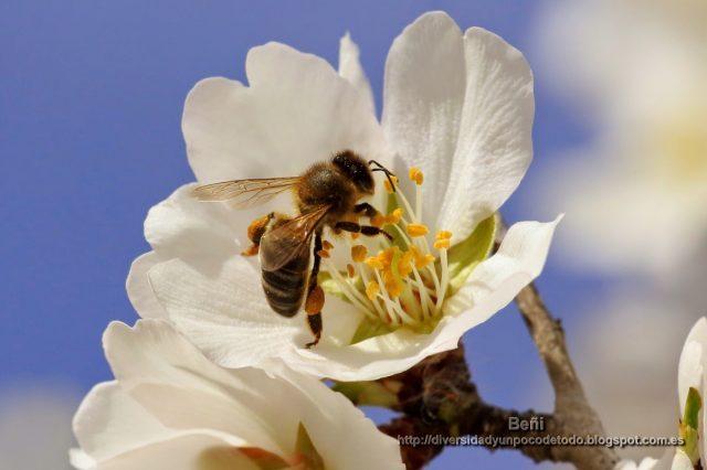 abeja melifera entre estambres y petalos de la flor