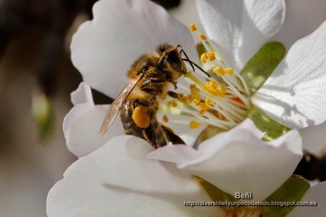 abeja melifera entre estambre