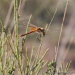 Sympetrum fonscolombii (red-veined dater)