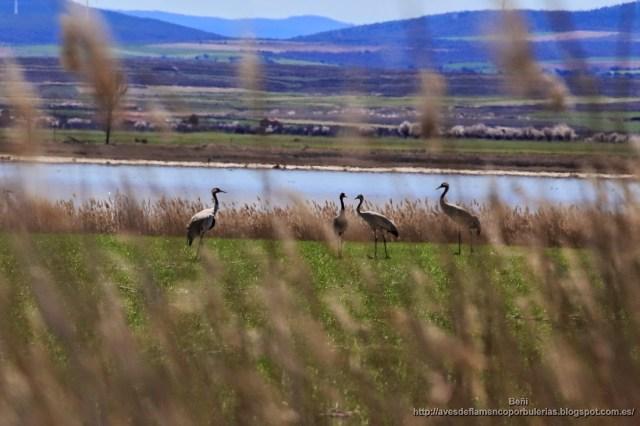 Grulla común o common crane o Grus grus.