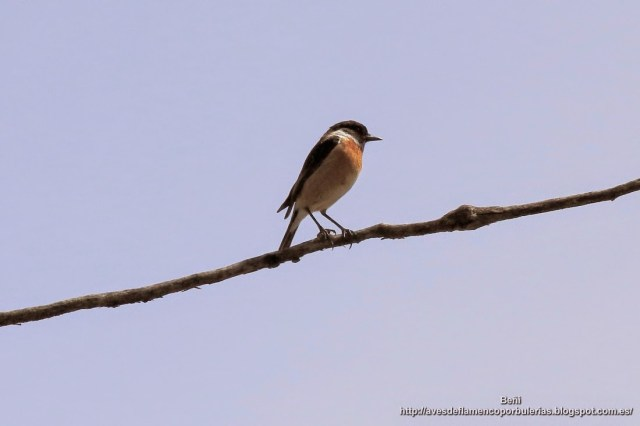 Tarabilla común o Common Stonechat o Saxicola torquatus macho