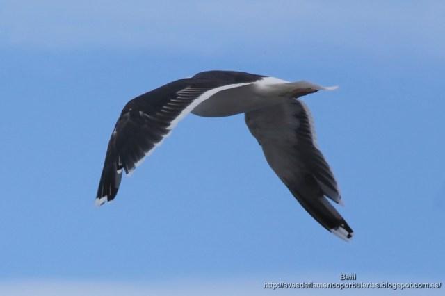 Adulto de Gavion atlontico (great black-backed gull, Larus marinus)