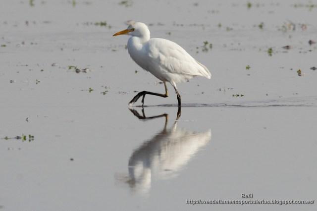 Garcilla bueyera, catle egret, Bubulcus ibis.