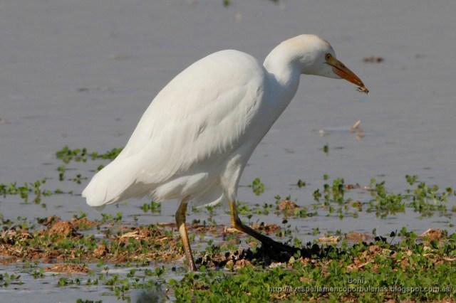 Garcilla bueyera ( catle egret, Bubulcus ibis) en los cultivos regados a manta