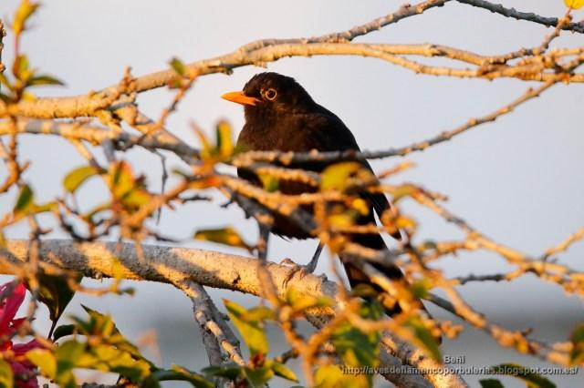 Mirlo comun, common blackbird, turdus merula