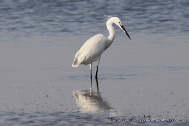 garceta comun (little egret, egretta garzetta)