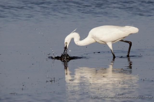garceta comun de pesca (little egret, egretta garzetta)