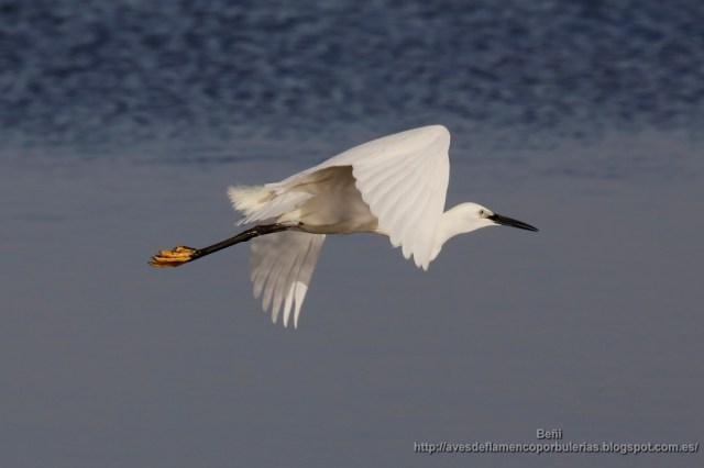 garceta comun (little egret, egretta garzetta) volando