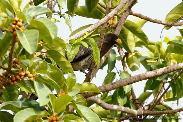 turaco gris en la reserva natural abuko