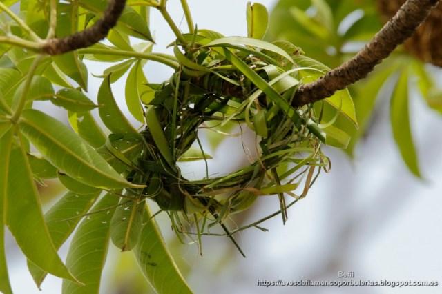 nido en cosntrucción del tejedor comun