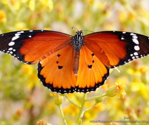 Danaus chrysippus chrysippus (mariposa tigre, African monarch)