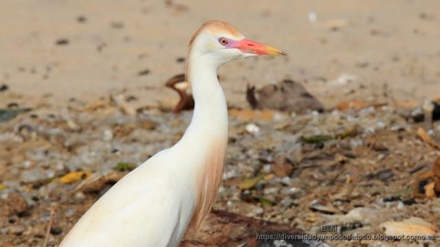 Garcilla bueyera Playa Tanji Gambia