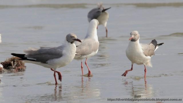 playa Tanji gaviota picofina (Slender-billed Gull, Larus genei)