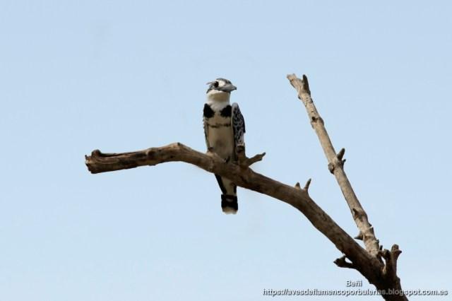 Martin pescador pio, pied kingfisher, Ceryle rudis