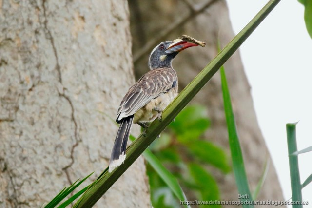 Toco piquinegro, African Grey Hornbill, Lophoceros nasutus