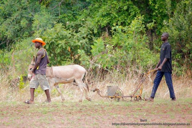 rio gambia, agricultores labrando la tierra