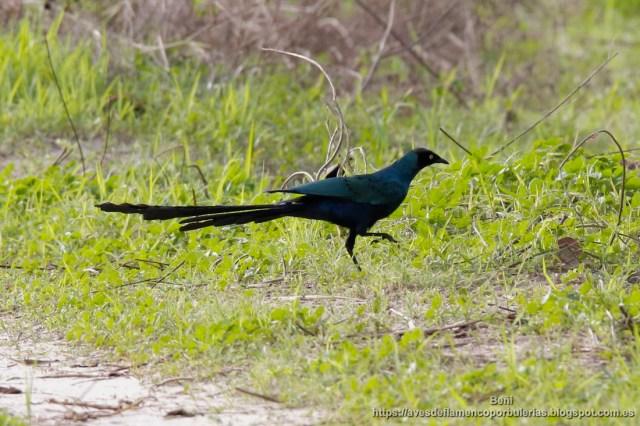 Estornino colilargo, long-tailed glossy starling, Lamprotornis caudatus