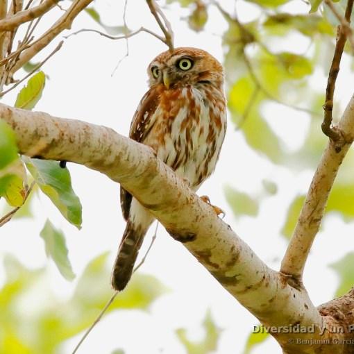 Mochuelo perlado, mochuelo chico perlado, pearl-spotted owlet, Glaucidium perlatum