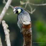 Carpintetro bellotero, acorn woodpecker, Melanerpes formicivorus