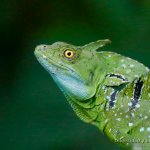 Basilisco esmeralda (green basilisk, Basiliscus plumifrons) macho.