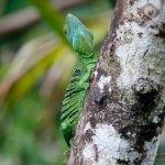 Basilisco esmeralda (green basilisk, Basiliscus plumifrons) hembra