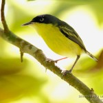 Titiriji comun (common tody-flycatcher, todirostrum cinereum) en Costa Rica