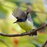 Titiriji comun (common tody-flycatcher, todirostrum cinereum) alzando el vuelo