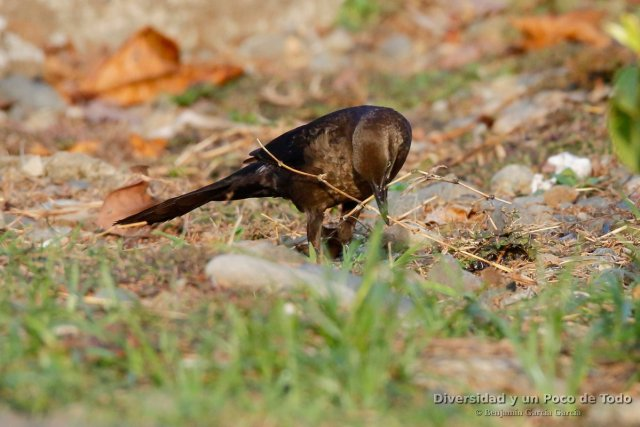 zanate mexicano (great-tailed grackle, quiscalus mexicanus) ejemplar hembra