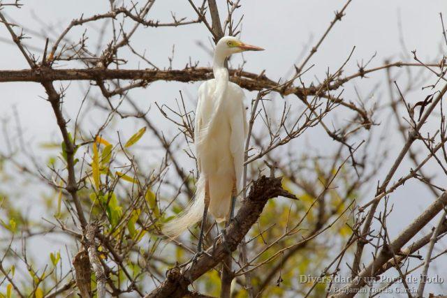 Garceta piquicorta (Yellow-billed Egret, Ardea brachyrhyncha)