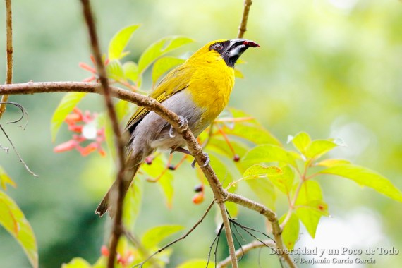 Picogrueso carinegro (black-faced Grosbeak, Caryothraustes poliogaster)
