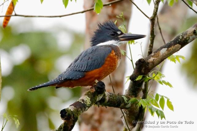 Martin gigante neotropical (Ringed Kingfisher, Megaceryle torquata)