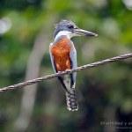 Martin gigante neotropical macho (Ringed Kingfisher, Megaceryle torquata)