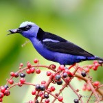 mielerito patirrojo macho (Red-legged Honeycreeper, Cyanerpes cyaneus)