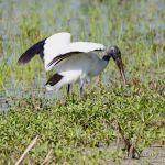 Tantalo americano,Wood Stork (Mycteria americana)