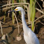 Garceta nivea, snowy egret, Egretta thula