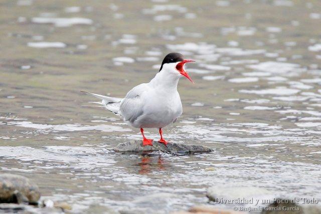aves en islandia, el charran artico
