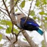 carraca blanquiazul, blue-bellied roller, coracias cyanogaster