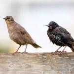 juvenil y adulto de Estornino pinto (Common Starling, Sturnus vulgaris)