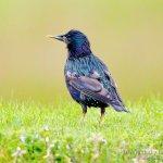 Estornino pinto, Common Starling (Sturnus vulgaris)