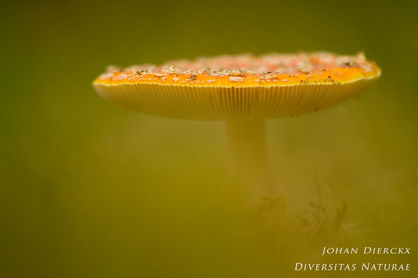 Amanita muscaria - Vliegenzwam