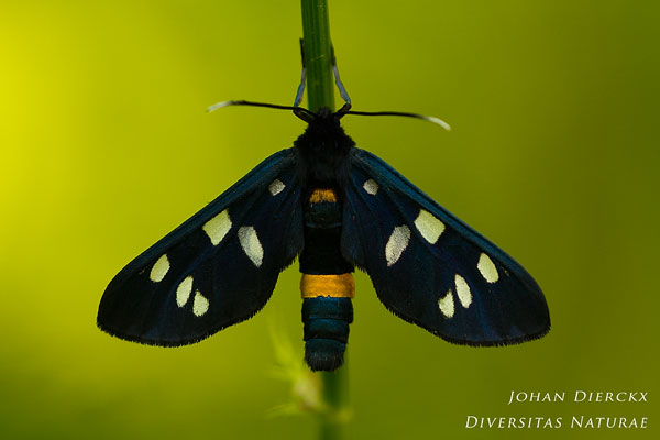 Amata phegea - Phegeavlinder