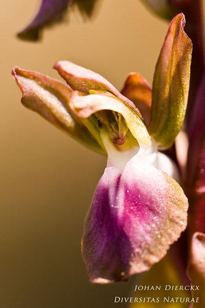 Anacamptis collina - Heuvelorchis