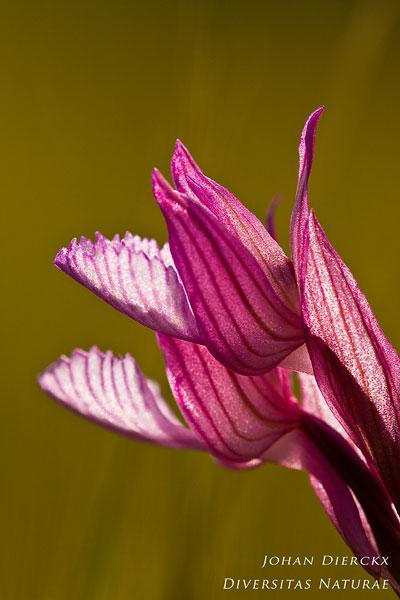 Anacamptis papilionacea subsp. alibertis - Alibertis' vlinderorchis