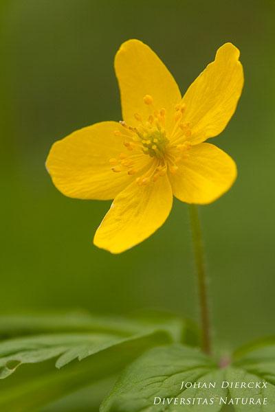 Anemone ranunculoides - Gele anemoon