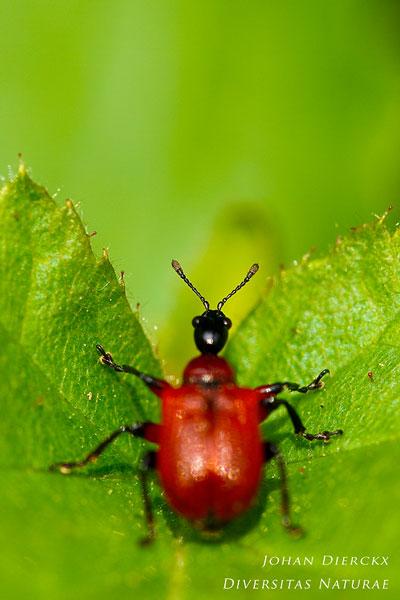 Apoderus coryli - Hazelaarbladrolkever