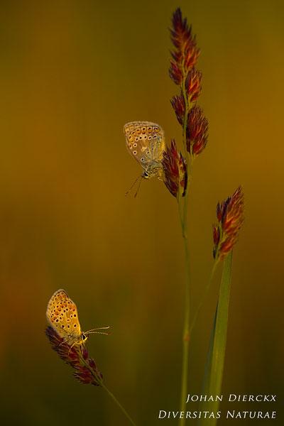 Aricia agestis - Bruin blauwtje & Polyommatus Icarus - Icarusblauwtje