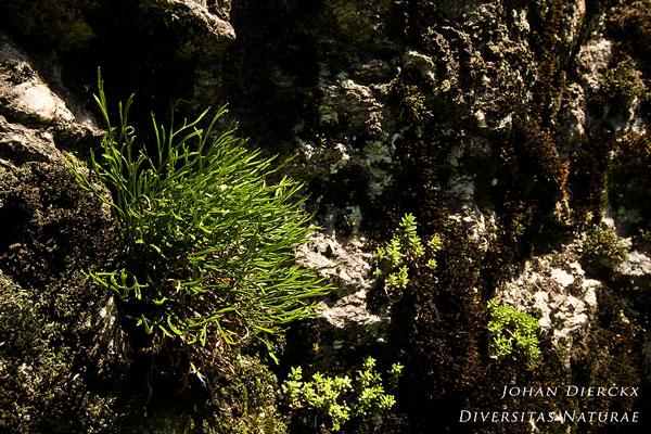 Asplenium septentrionale - Noordse streepvaren