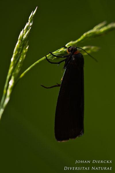 Atolmis rubricollis - Zwart beertje